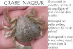 Crabe nageur